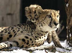 050207_cheetahs