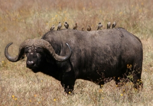 African_buffalo_Syncerus_caffer_retouched