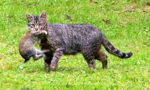feral cat eat the bunny