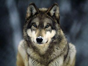 grey-wolf_565_600x450