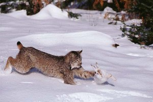 Lynx (Felis lynx) hunting snowshoe hare.
